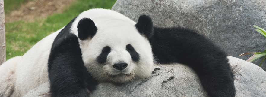 Panda bear sleeps as update 4.1 keeps us up at night